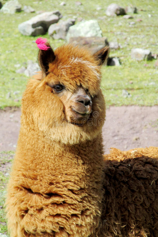 Cute brown alpaca or lama portrait. The llama, Lama glama domesticated South American camelid animals on the green meadow in the Andes mountains. Small cute royalty free stock photos