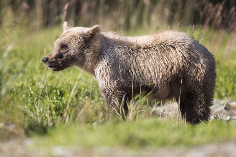 Cute Brown Bear Cubs