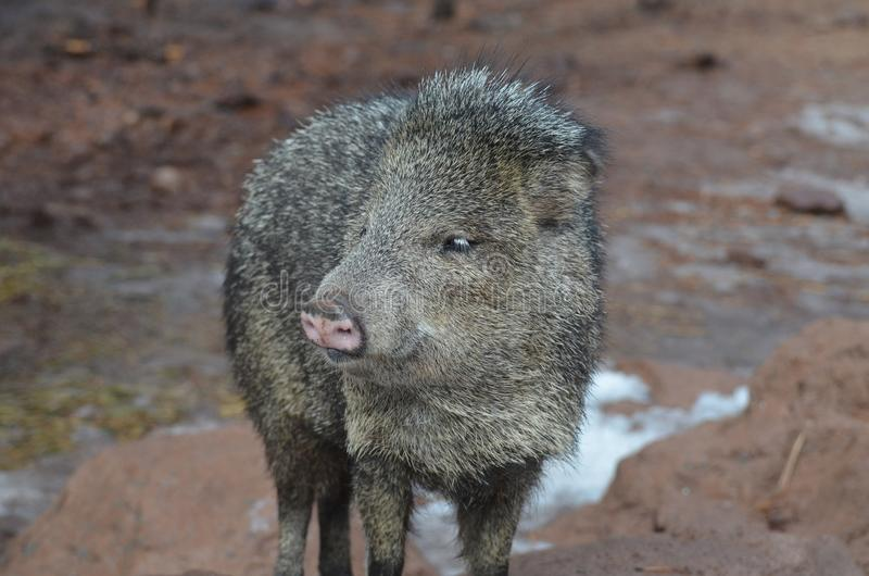 Cute black and brown peccary skunk pig in the wild royalty free stock photo