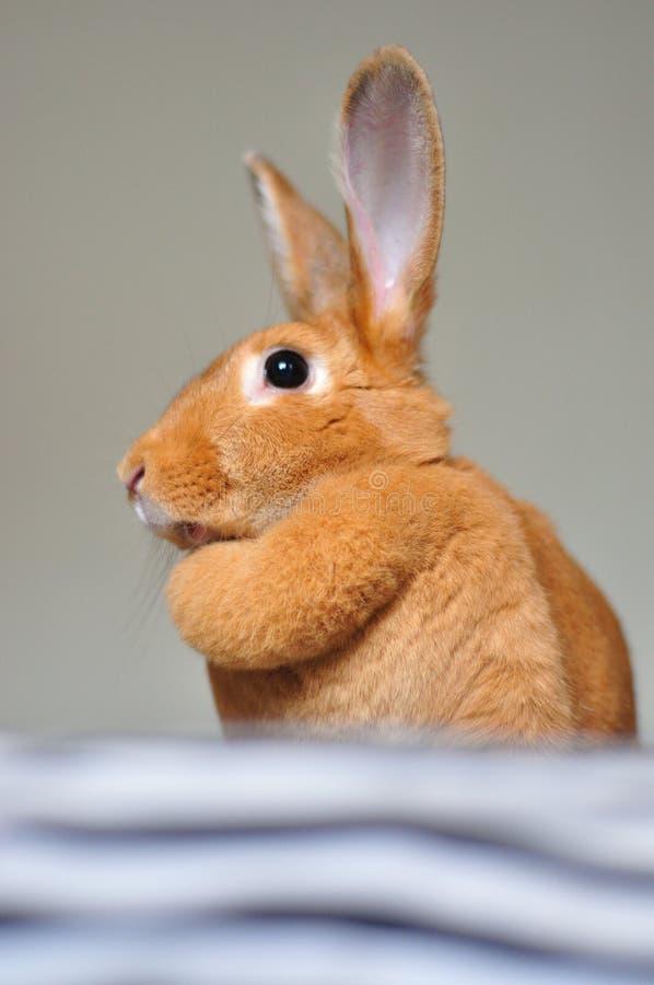 Brown bunnies free videos