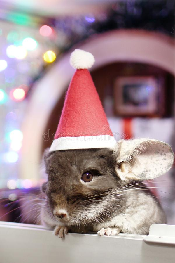 Cute brown chinchilla with Santa Claus red hat on a background of Christmas decorations and Christmas lights. Little fluffy Santa. Winter concept and New Year royalty free stock photo