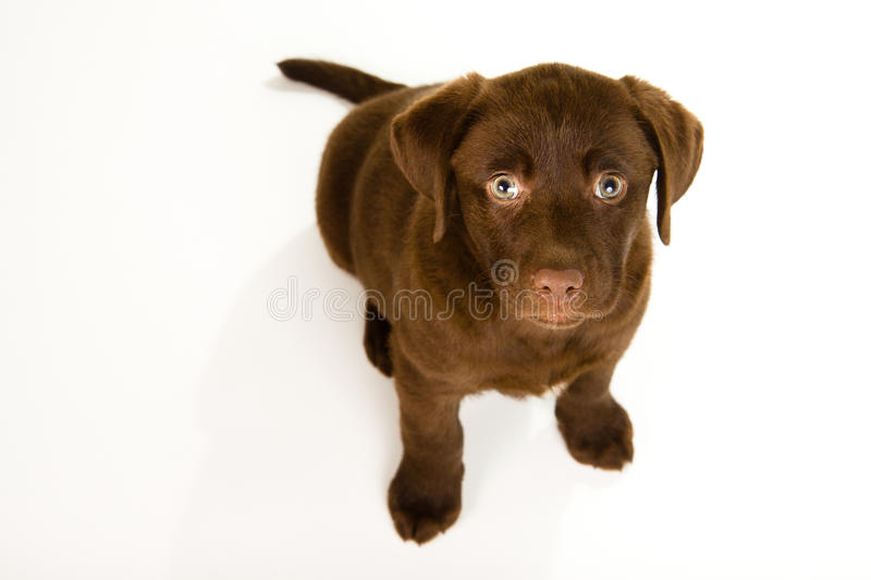 Cute brown chocolate labrador puppy dog looking up. On white background. isolated on white royalty free stock photo