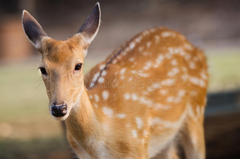 A cute brown deer. In a jungle royalty free stock photography