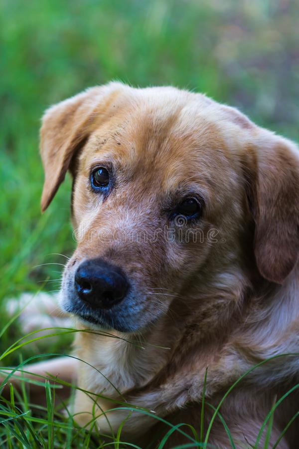 Brown dog in gardem stock photography