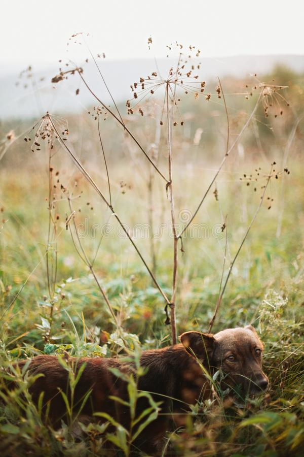 Cute brown dog looking with adorable eyes and walking under dried wildflowers in sunny meadow in mountains at sunset. Traveling stock photo