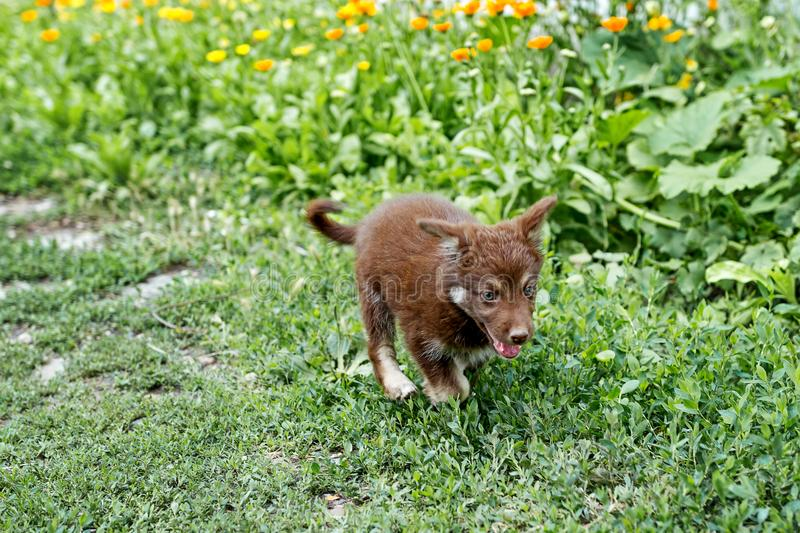Cute brown puppy sitting in yellow flowers stock images