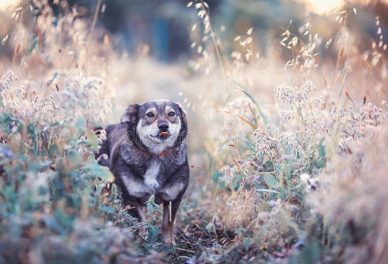 Cute brown dog walks on a clear Sunny meadow and shows tongue on a walk on a warm summer day stock photo