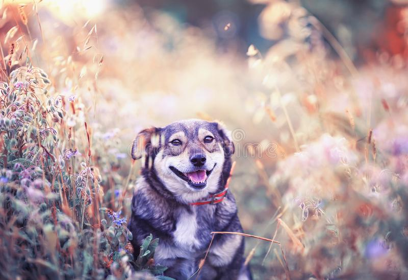 cute brown dog walks on a clear Sunny meadow and smiles happily on a warm summer day royalty free stock photography