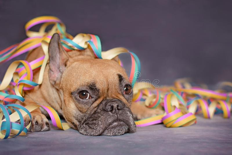 Cute brown French Bulldog dog lying on ground covered with party paper blow out streamers royalty free stock photo