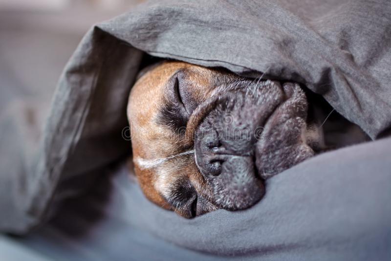 Cute brown French Bulldog dog sleeping covered under blanket in human bed stock photos