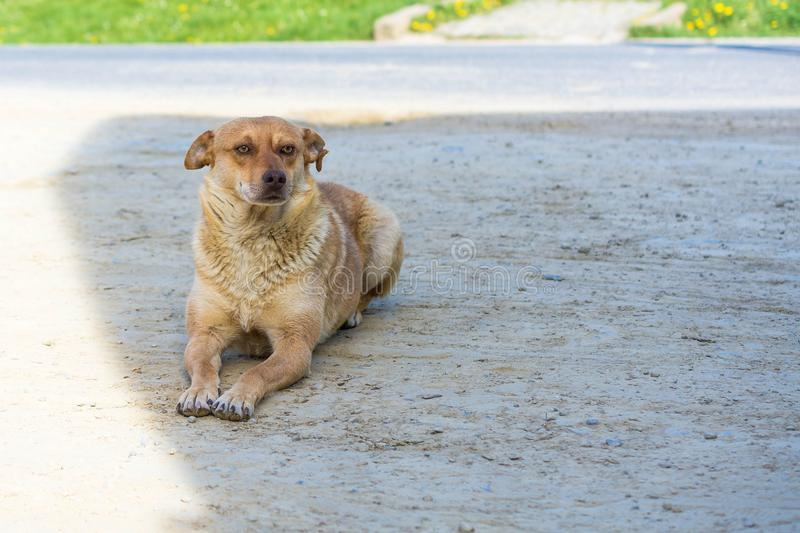 Cute brown-haired abandoned dog on the way.  royalty free stock photos
