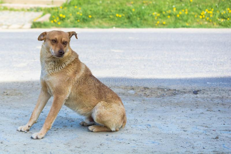 Cute brown-haired abandoned dog on the way.  stock images