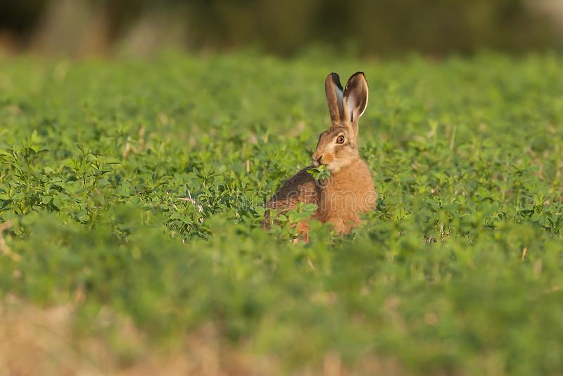 Cute brown hare sat in a field eating the crops. For breakfast. Wild animal chewing vegetation in Norfolk England royalty free stock photography