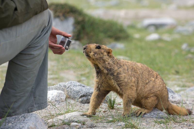 Cute brown Himalayan marmot curious about action camera in tourists hands near Pangong lake stock photos