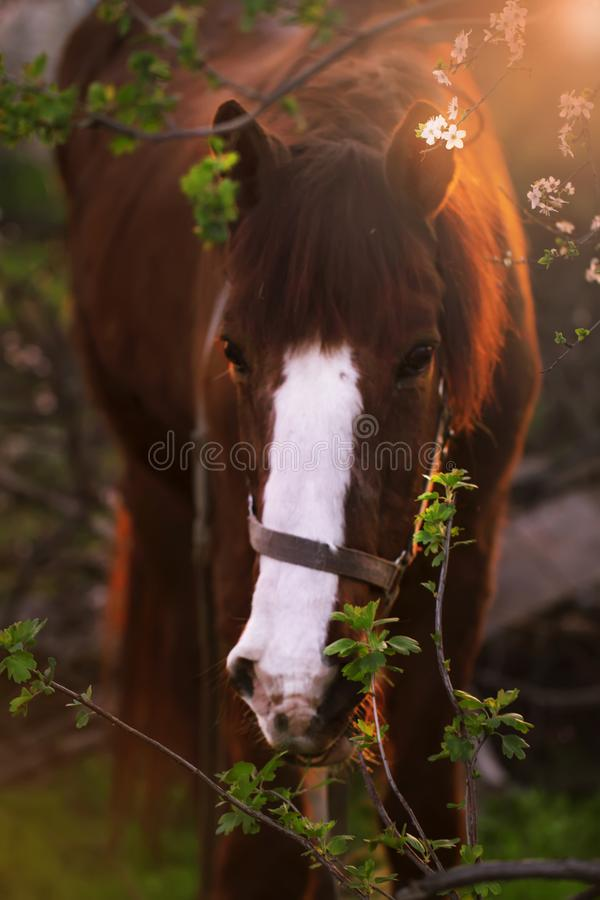 Cute brown horse on a spring day at sunset in flowering trees, selective focus royalty free stock photo