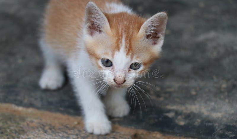 Cute brown kitten Beautiful fur. Cute brown kitten ,Cute brown kitten Beautiful fur royalty free stock images