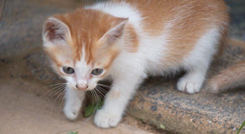 Cute brown kitten Beautiful fur. Cute brown kitten ,Beautiful fur royalty free stock photography