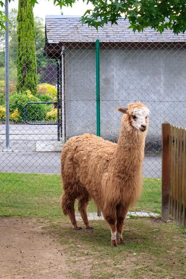 Cute brown llama in zoo in France. Children activities for holidays. Animals design. Cute brown llama in zoo in France. Children activities for holidays. Animals royalty free stock images