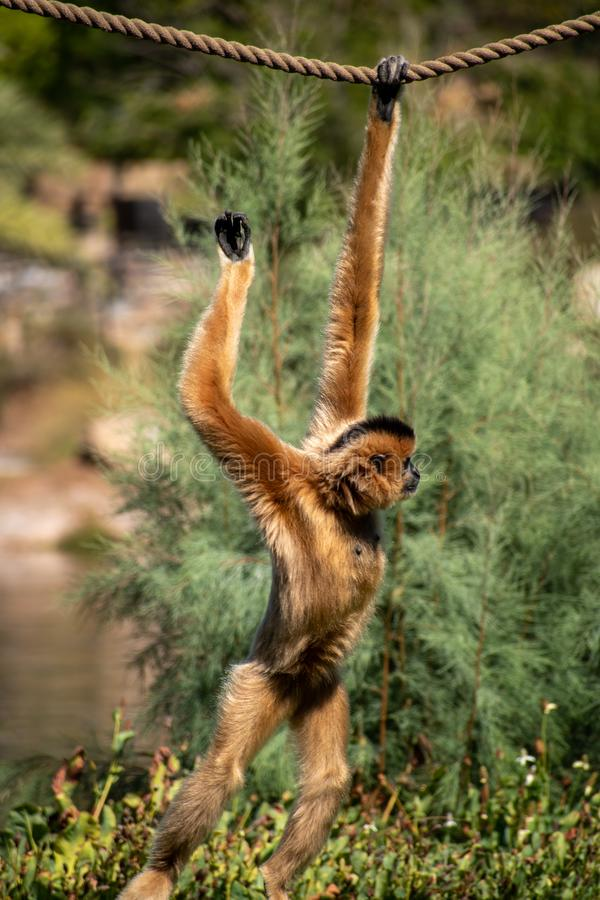Cute brown monkey on a rope. Cute brown monkey swinging along on a rope. Playful little guy is caught mid-swing royalty free stock photos