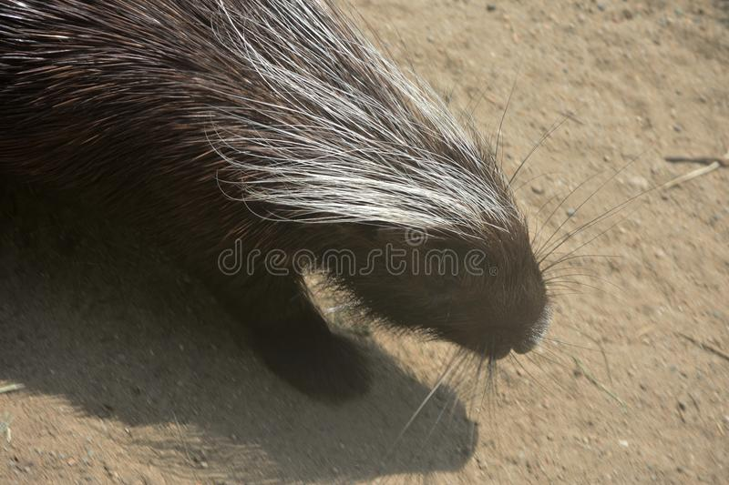 Cute brown porcupine walking down a dirt hill royalty free stock photo