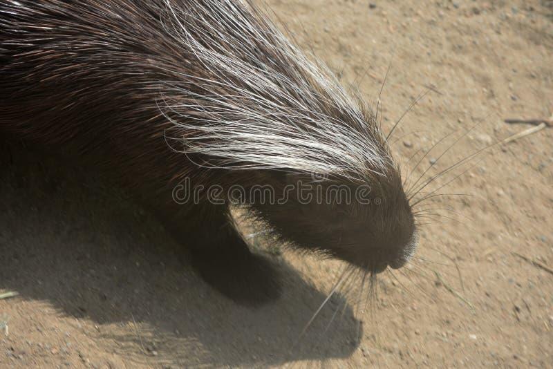 Cute brown porcupine walking down a dirt hill. Adorable brown quilled porcupine walking around royalty free stock photo