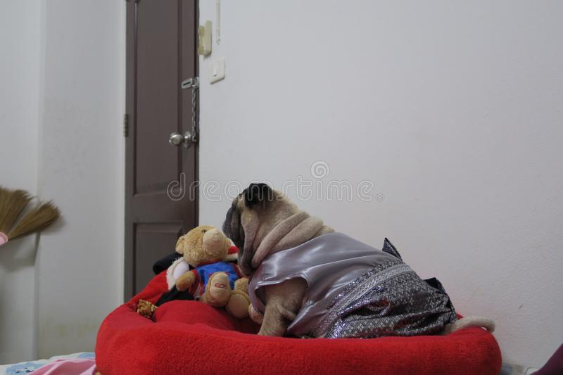 A cute brown pug dog wearing a gray Thai dress lying on a red bed. And a teddy bear stock image