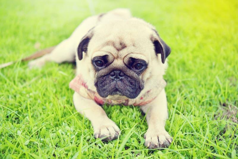 Sad brown Pug. Cute brown Pug feeling sad in garden stock photography