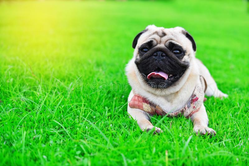 Cute brown Pug in garden. Cute brown Pug playing alone in garden royalty free stock photo
