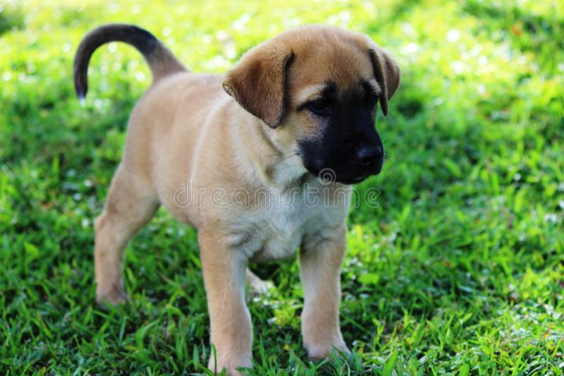 Cute Brown Puppy. A cute brown puppy with a black nose stands and watches stock image