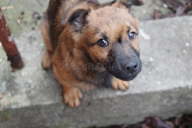 Cute brown puppy looking at camera and asking for food top view. Funny dog in backyard. Domestic dog portrait. royalty free stock image