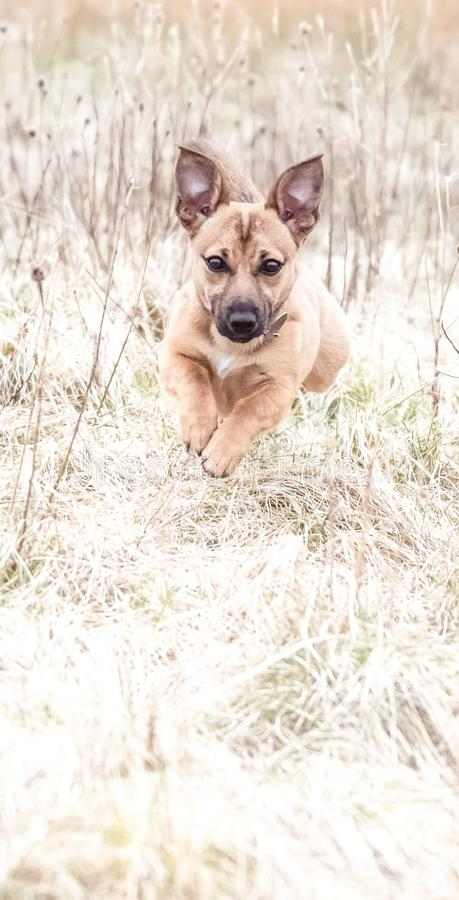 Cute brown puppy running and playing with new owner - rescue dog found a new home stock images