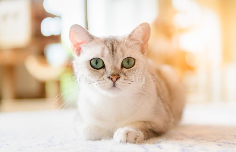 Cute brown scottish fold cat sit on the mat. Cute brown scottish fold cat short hair species sit on the mat, Popular pet animal concept stock photo
