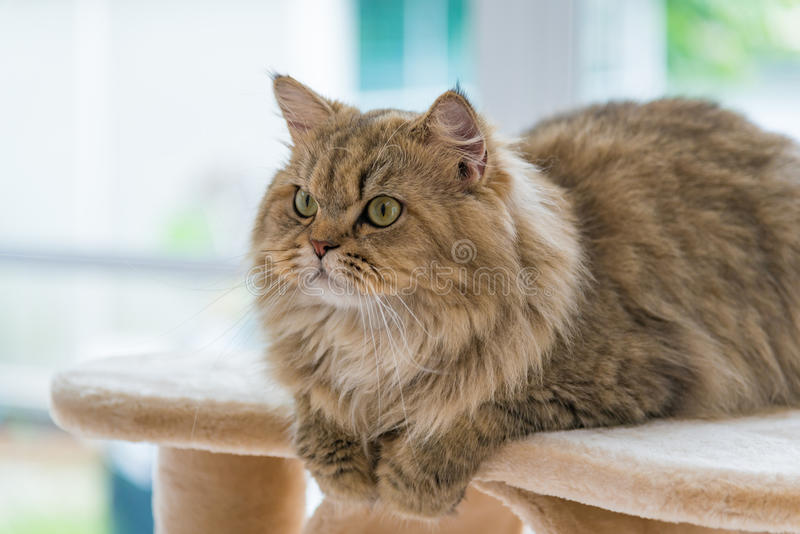 Cute brown tabby persian cat stock images