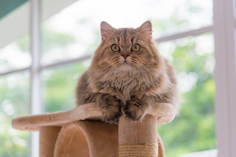 Cute brown tabby persian cat stock image