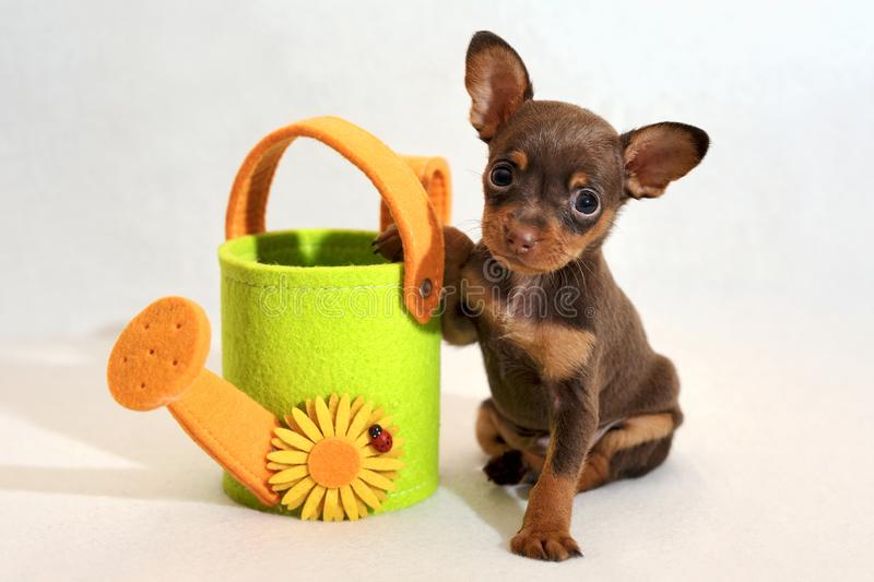 Russkiy toy terrier puppy with watering-can royalty free stock photography