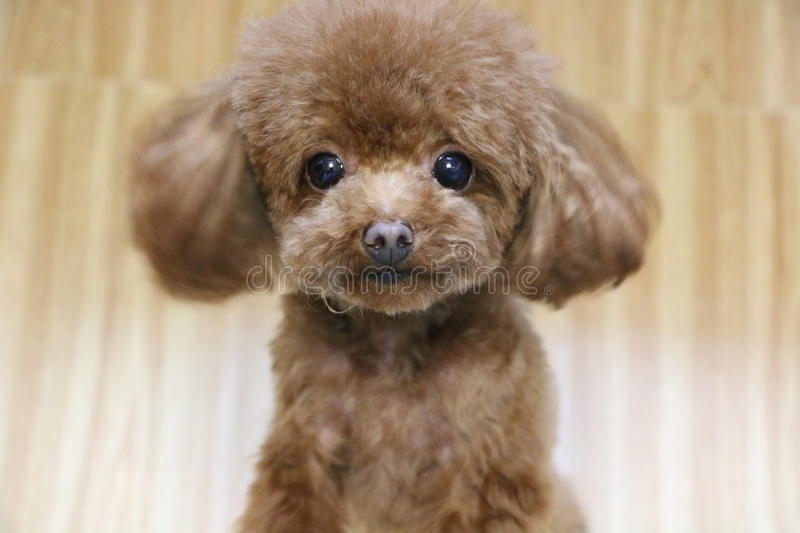 A cute brown teddy dog royalty free stock image