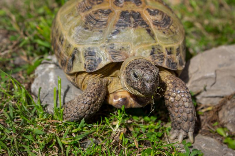 Cute brown turtle walking on grass and stones. Exotic reptile concept. Wildlife background. Turtle close up looking at camera. Tropical animal concept stock photography