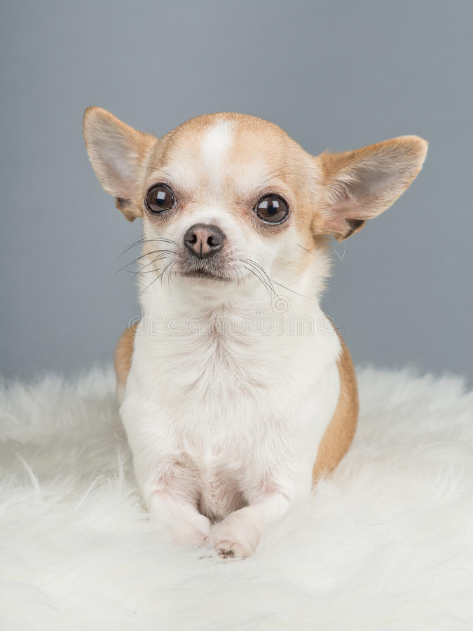 Cute brown and white chihuahua dog lying down on a grey background and a white rug stock images