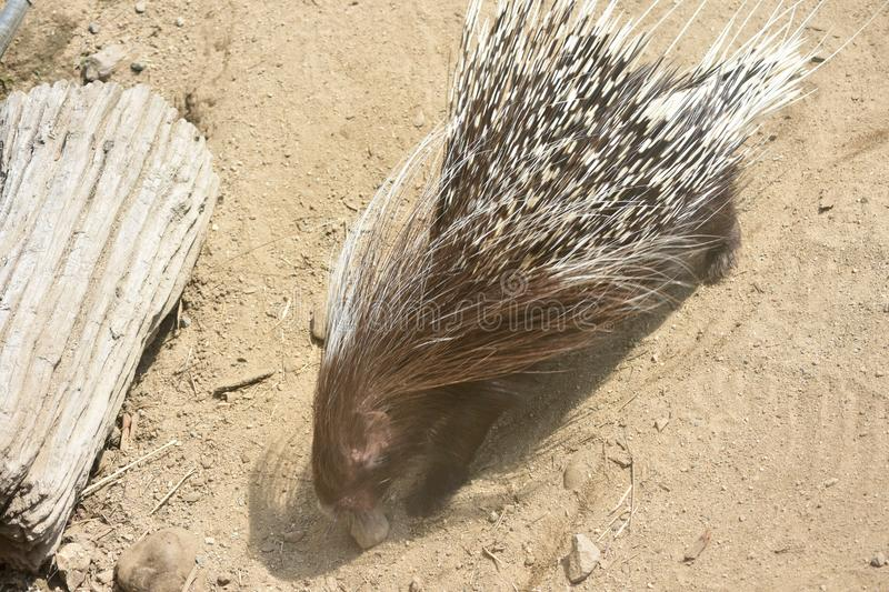 Above photo of a cute porcupine standing next to a log. Cute brown and white porcupine stock photography