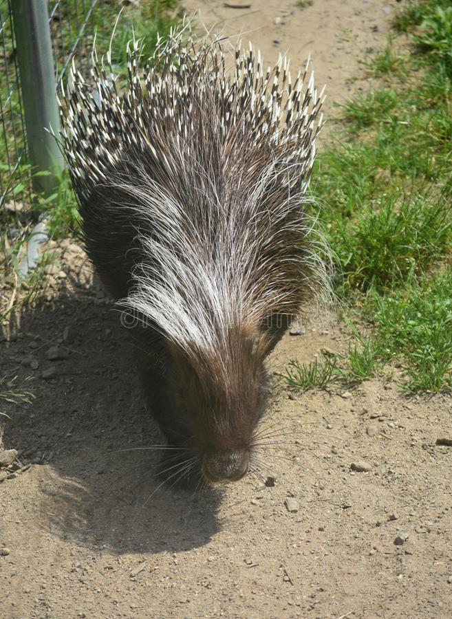Cute brown and white porcupine walking around. Adorable brown porcupine relaxed while walking stock photography