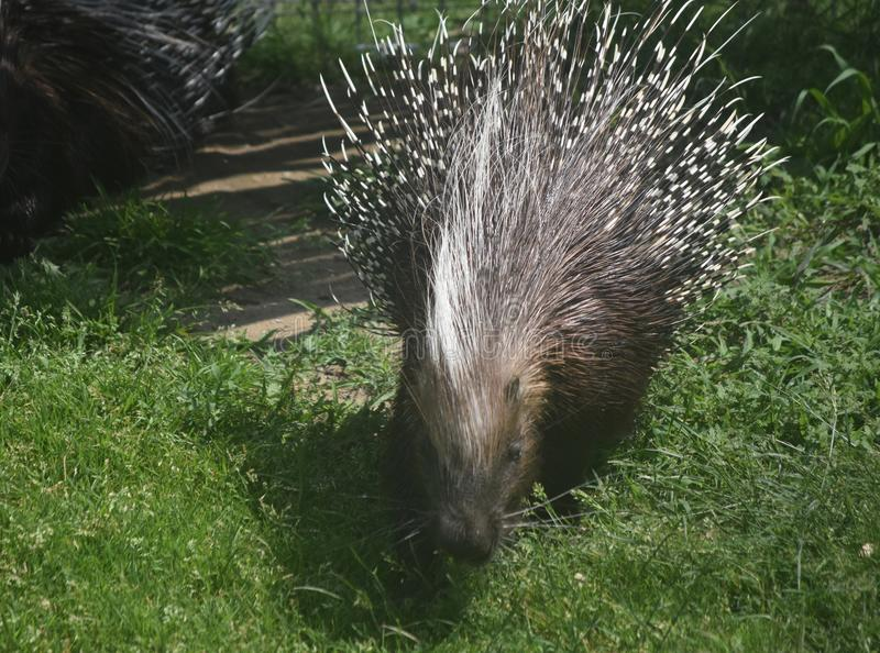 Cute brown and white porcupine walking through grass stock photos