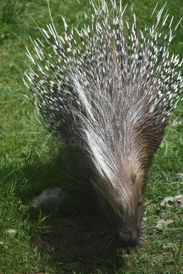 Sweet porcupine with prickly brown and white quills. Cute brown and white prickly quilled porcupine royalty free stock photo