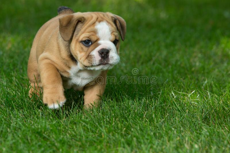 Cute brown wrinkled bulldog puppy in the grass, standing and facing right royalty free stock photo