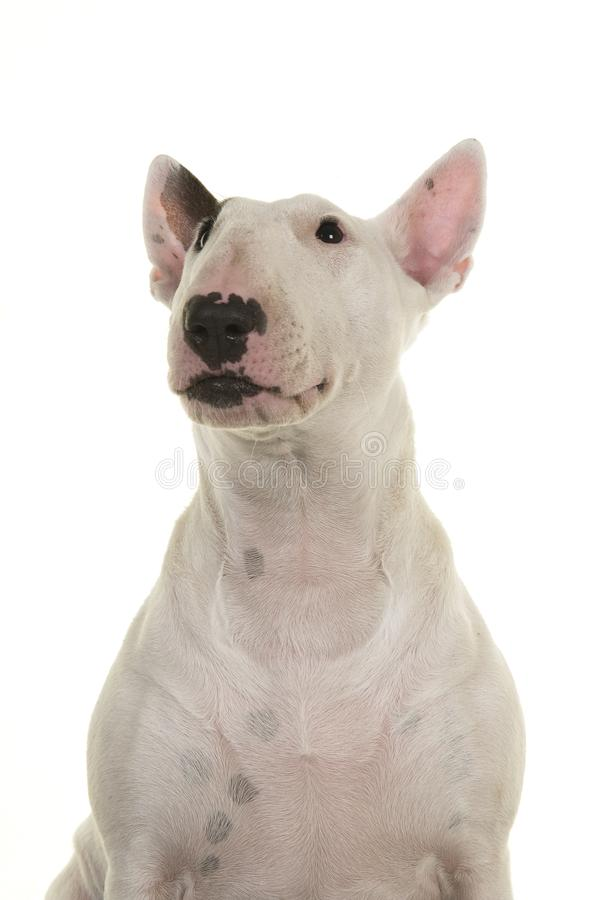 Cute bull terrier portrait looking up seen from the front isolated on a white background stock photos