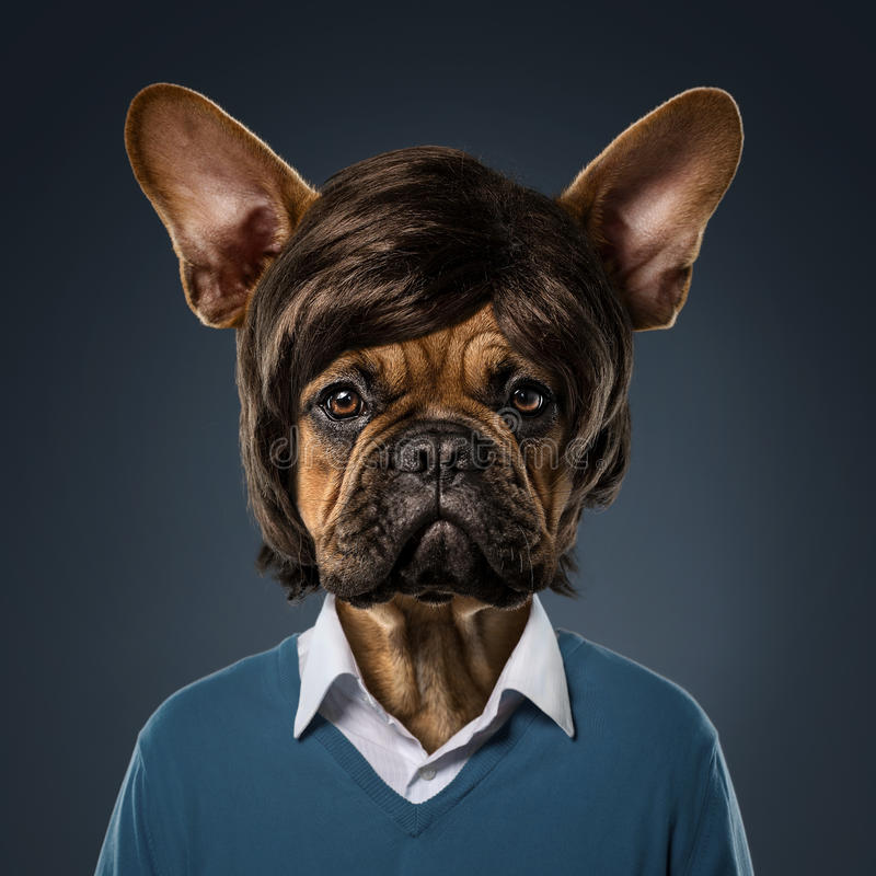Cute bulldog portrait. With fancy haircut, wearing human clothes, over blue background stock images