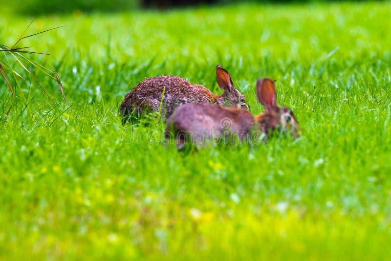 Cute bunnies royalty free stock image