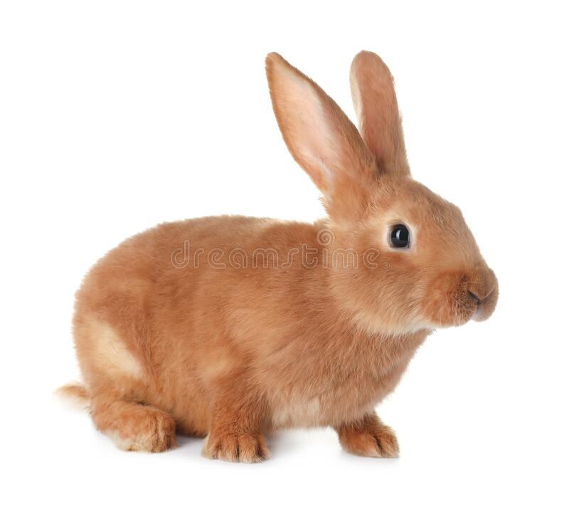 Free Cute Bunny Isolated On White. Easter Symbol Royalty Free Stock Photo - 212800135