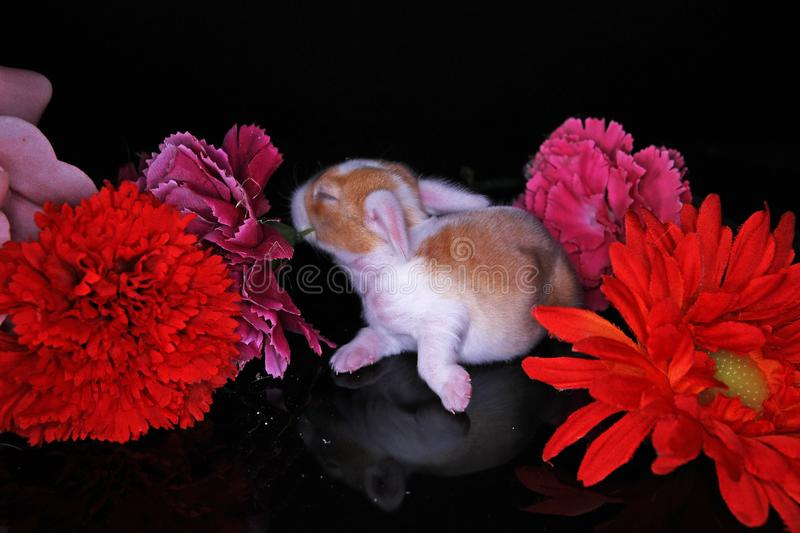 Cute bunny lop rabbit baby kit on colorful studio background. New born baby animal pet rabbits. Cute royalty free stock photography