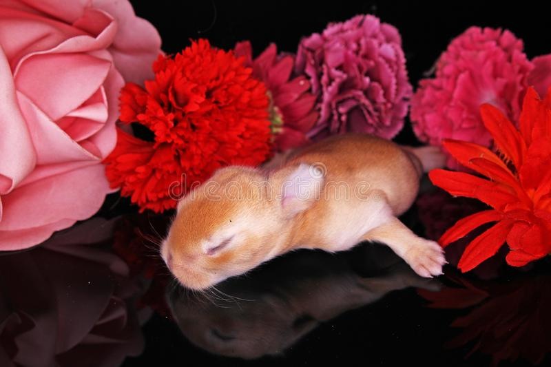 Cute bunny lop rabbit baby kit on colorful studio background. New born baby animal pet rabbits. Cute royalty free stock photos