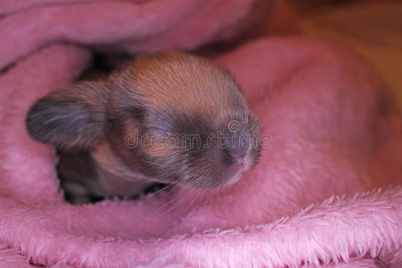 Cute bunny lop rabbit baby kit on colorful studio background. New born baby animal pet rabbits. Cute stock images